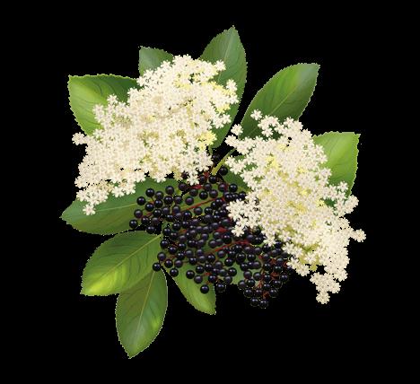 Výsledek obrázku pro Sambuci flores