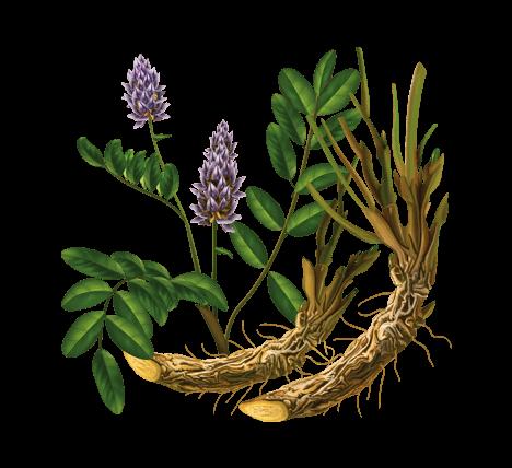 лекарственные травы солодка