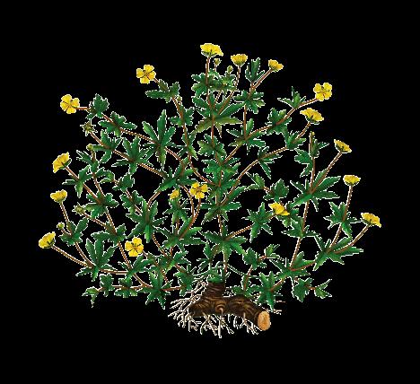колганов корень полезные свойства