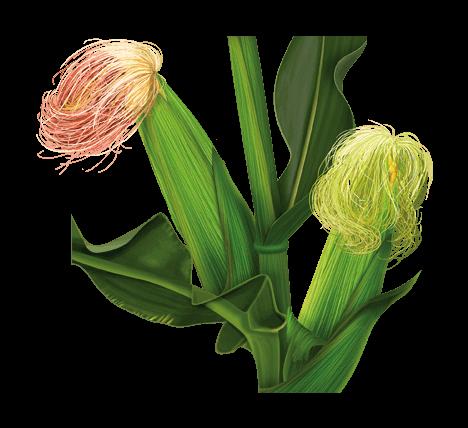 трава кукурузные рыльца лечебные свойства
