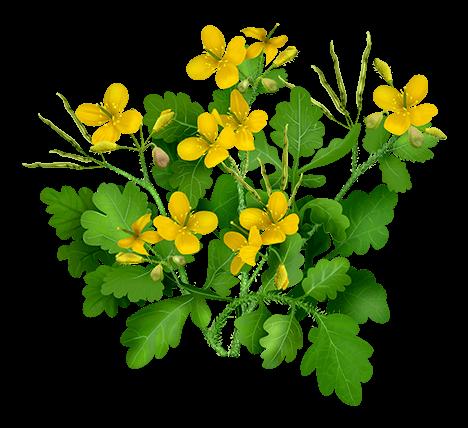 Лекарственные растения чистотел