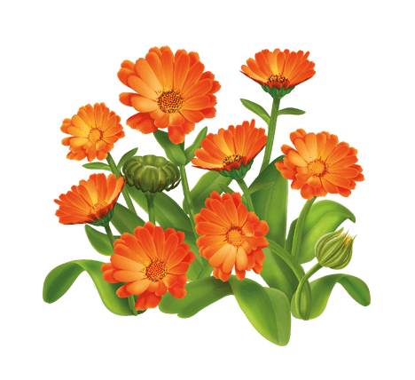Польза цветков ноготков