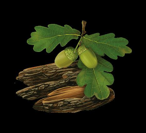 Кора дуба: лечебные свойства, польза, описание, применение в ...