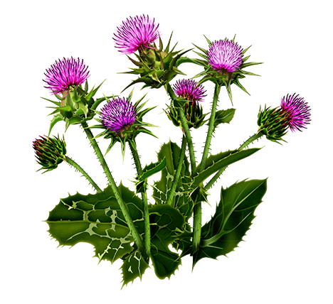 Расторопша (плоды): польза, лечебные свойства, описание растения